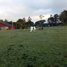 Plastic Cow in Field - Pine Hill, Eureka
