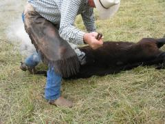 Marking a steer ion the Westfall Ranch